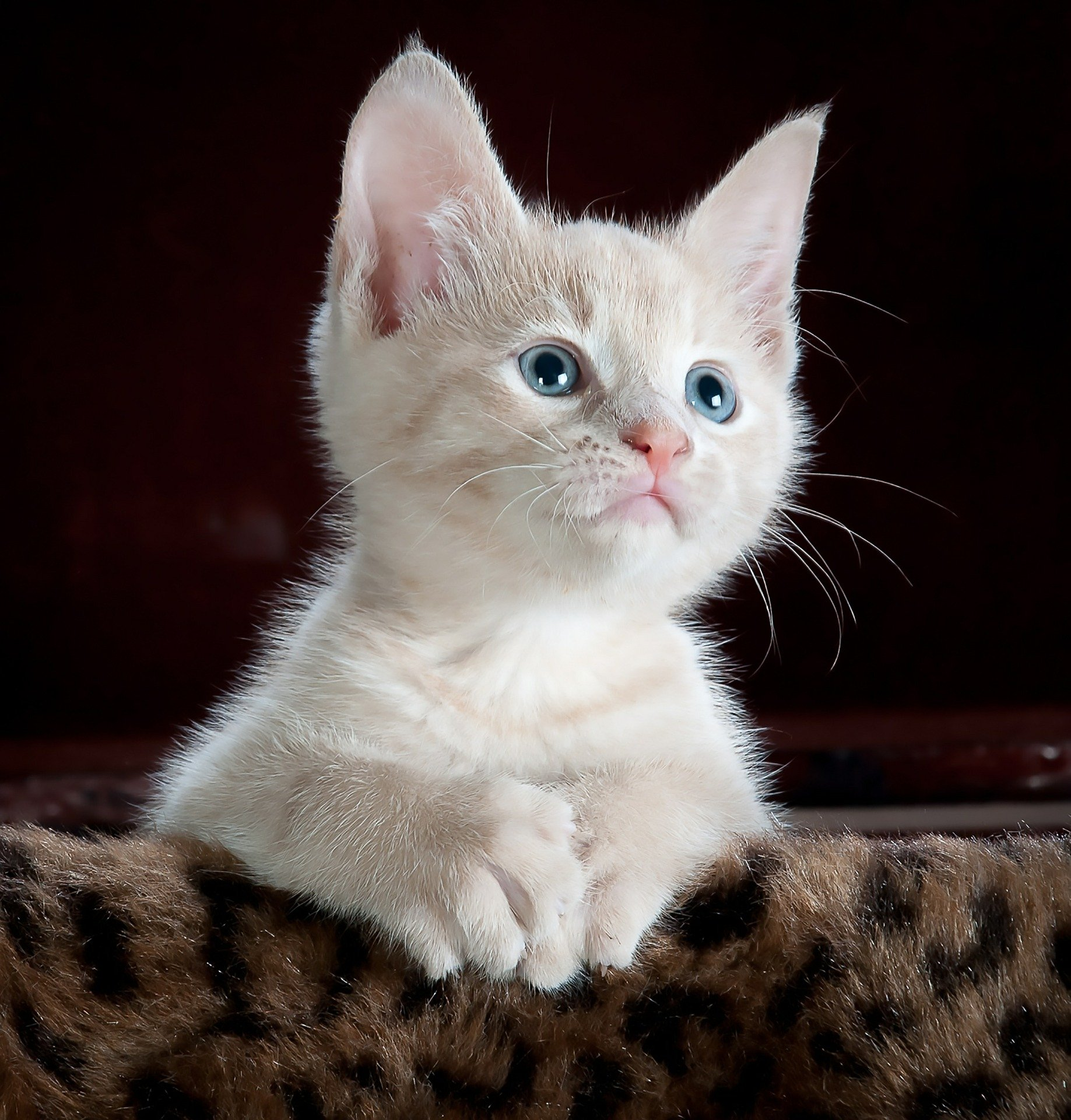 Les matières grasses essentielles pour votre chat